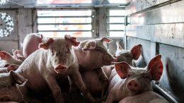PRESSEMEDDELELSE Danske vognmaend bryder reglerne for dyretransporter