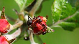 Pressemeddelelse Myrer bekaemper plantesygdomme e1573300834709