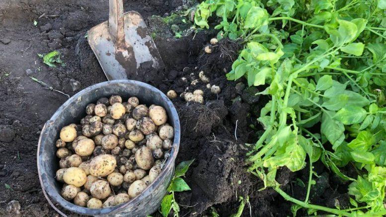 PRESSEMEDDELELSE De foerste danske kartofler er klar i foetex