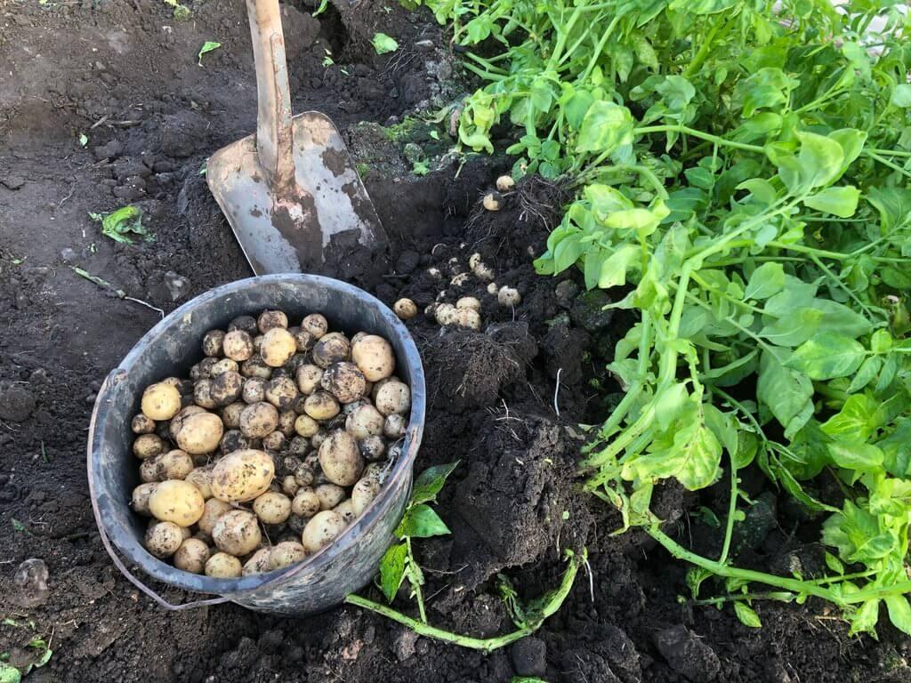 PRESSEMEDDELELSE De foerste danske kartofler er klar i