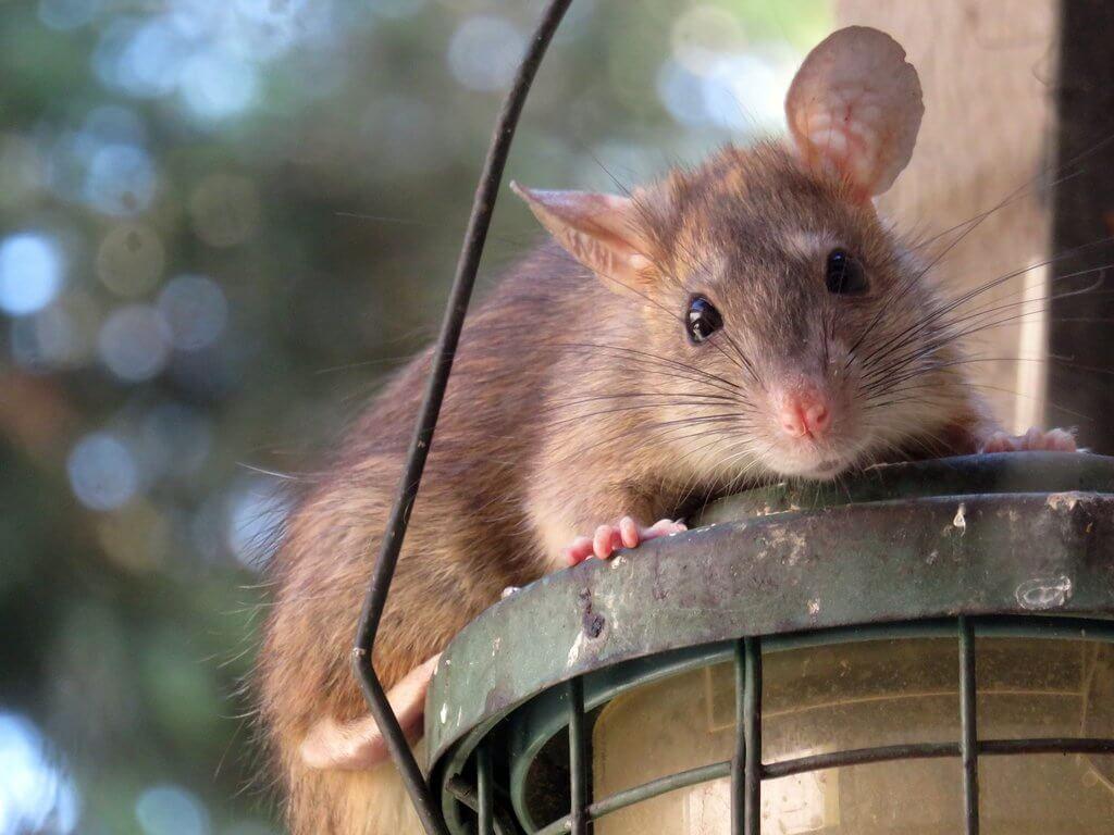 PRESSEMEDDELELSE Rotteproblemer kan eskalere i ly af COVID 19