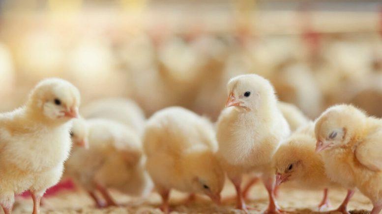 PRESSEMEDDELELSE Aldi tager kvantespring for 16 millioner kyllinger