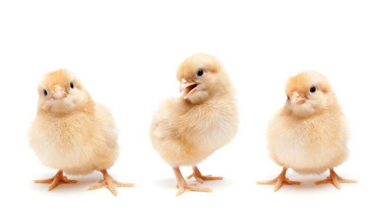 PRESSEMEDDELELSE Revolution i dansk produktion giver bedre forhold for 12 millioner kyllinger