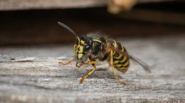 PRESSEMEDDELELSE Hvepseallergikere skal passe paa i sensommeren