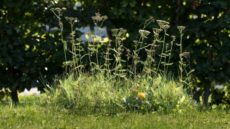 PRESSEMEDDELELSE Danske haveejere er blevet dus med den vilde natur