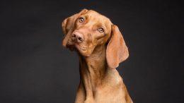 PRESSEMEDDELELSE Forstoerret prostata er et overset problem hos hanhunde
